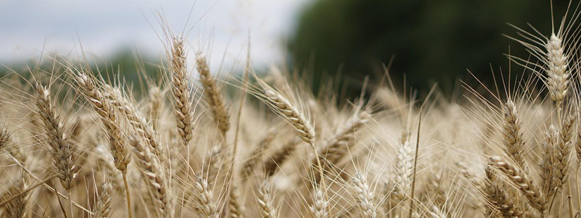 Campo di grano